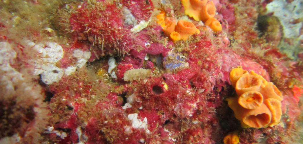 Siembra de juveniles de pepino de mar